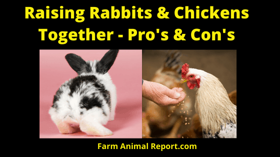 Can Rabbits and Chickens be Raised Together