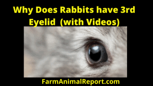 Why Do Rabbits Have Third Eyelid