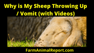 Why Are My Sheep Vomiting