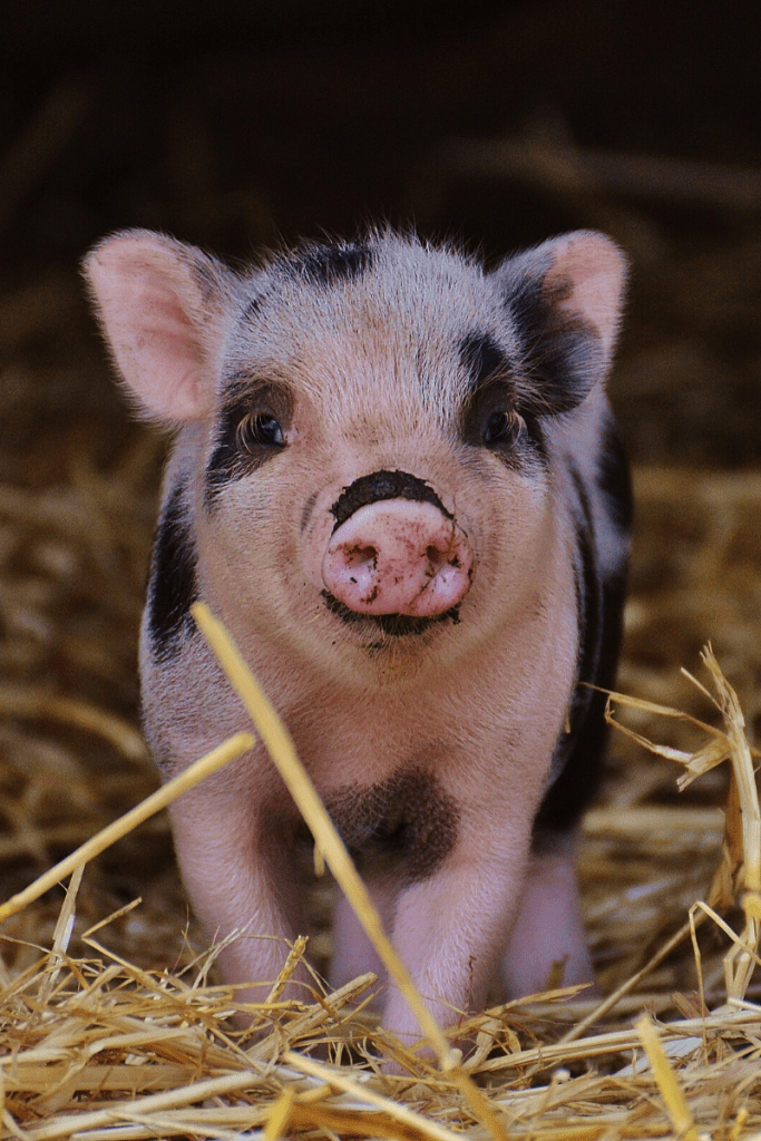 Many peoples are getting interested in raising pigs, and they need a bit more clarity on how to grow the pigs. Several things have their influence on the growth of pigs. These things will help the pigs to reach to the weight quickly. #pigshogsswine #backyardpigshogsswine #homesteadpigshogsswine #Hobbypigshogsswinefarms #farmpigshogsswine #pigshogsswinefarming #pigshogsswinebehaviour #raisingpigshogsswineformoney #raisingpigshogsswineformeat #raisingpigshogsswineforham #raisingpigsaslivestock