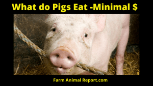 What do Pigs Eat with Minimal Spending