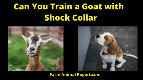 Training a Goat with a Shock Collar