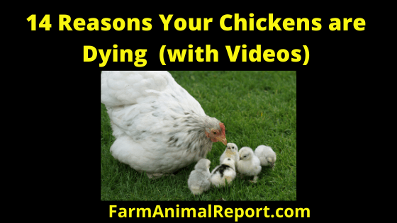14 Reasons Your Chickens are Dying