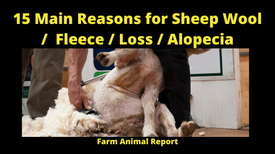 15 Main Reasons for Sheep Wool _ Fleece Loss _ Alopecia