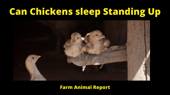Can Chickens sleep Standing Up