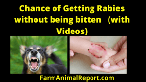 Chances of getting rabies without being bitten