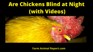 Are Chicken Blind at Night