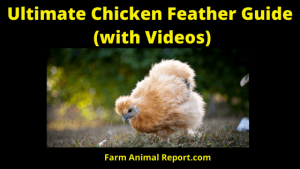 Ultimate Guide to Chicken Feathers