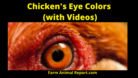 What Are Chickens Colors