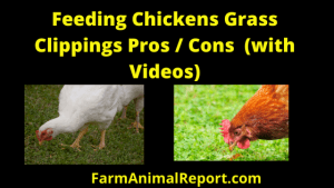 Chickens eating Grass Clippings