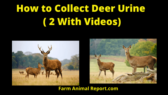 How to Collect Deer Urine