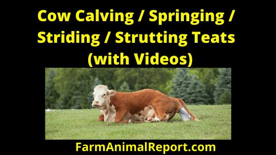 Cow Calving Strutting Teats /