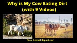 Why is My Cow Cows Eating Dirt