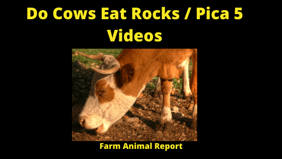 Cows Eating Rocks _ Pica