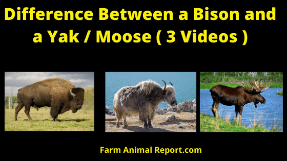 Difference Bison _ Yak _ Moose