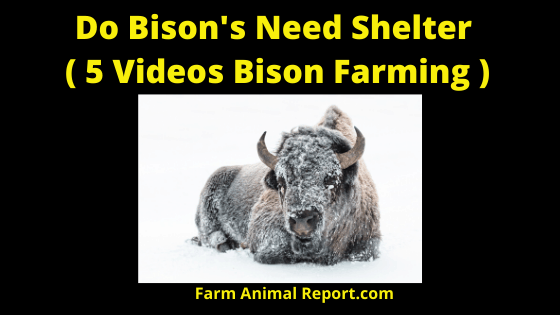 Do Bison's Need Shelter ( 5 Videos Bison Farming )
