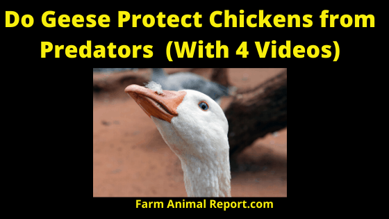 Do Geese Protect Your Chickens