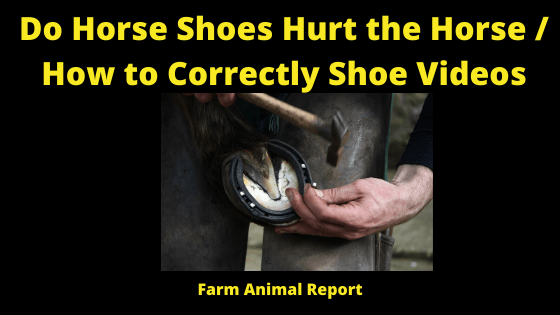 Do Horse Shoes Hurt the Horse / How to Correctly Shoe