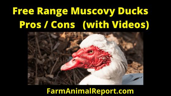 Free Range Muscovey Ducks
