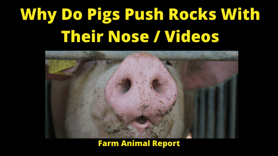 Pigs Rooting with Their Noses