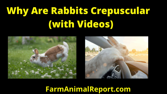 Rabbits are Crepuscular