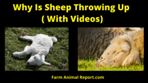 Why is My Sheep Throwing Up