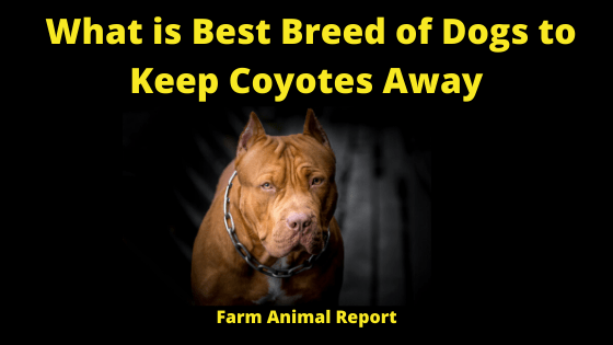 What Breed of Dog Best to Keep Coyotes Away