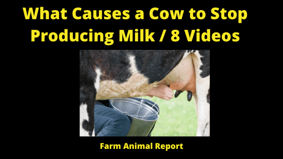 Why Cows Stop Producing Milk