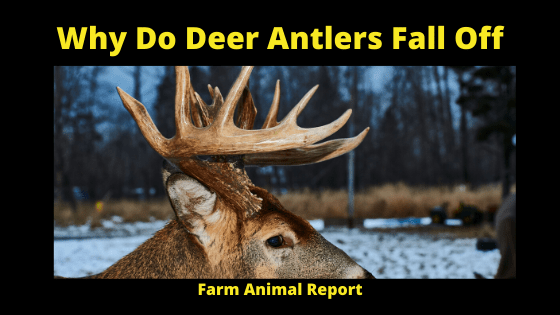 Why Do Deer Antlers Fall off