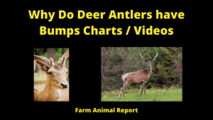 Why Do Deer Antlers Have Bumps