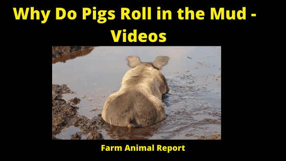Why Do Pigs Roll in the Mud