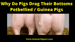 Why Do Pigs drag Their Bottoms