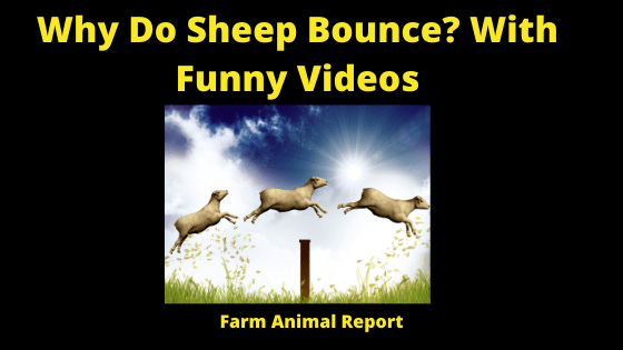 Why Do Sheep Bounce