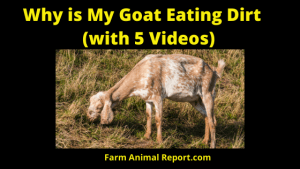Why are My Goats Eating Dirt