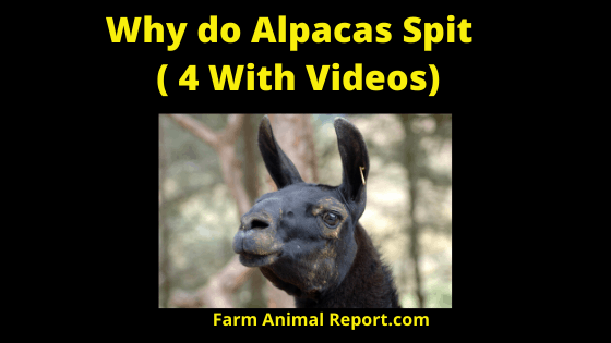 Why do Alpacas Spit