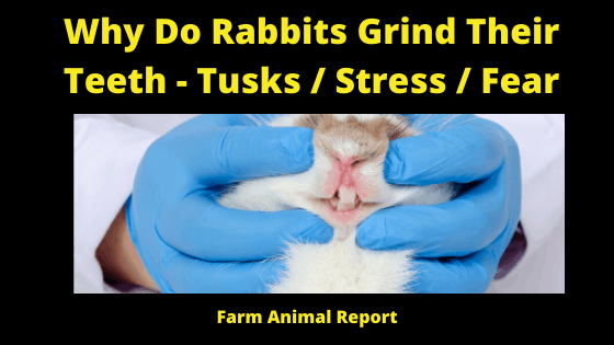 Why do Rabbits grind their teeth