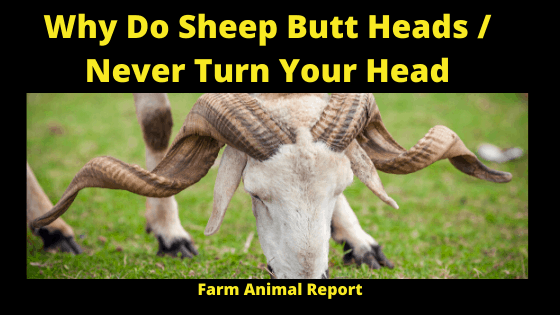 Why do Sheep Head Butt