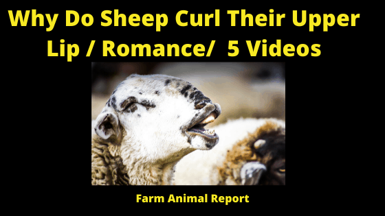 Why do sheep Curl their upper lip