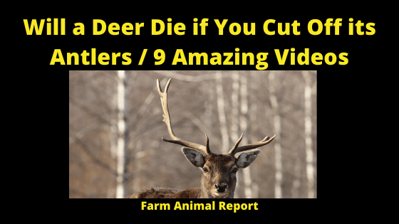 Will a Deer Die if You Cut off His Antler
