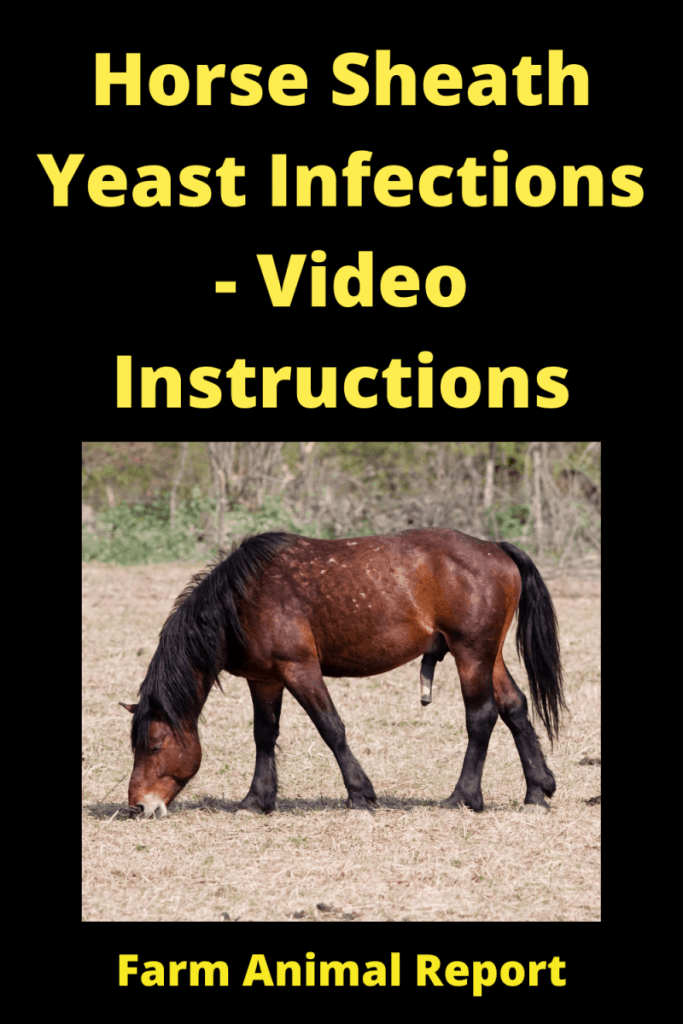 Horse Sheath Yeast Infections - Video Instructions 1