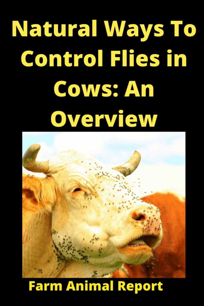 Natural Ways To Control Flies in Cows: An Overview 1