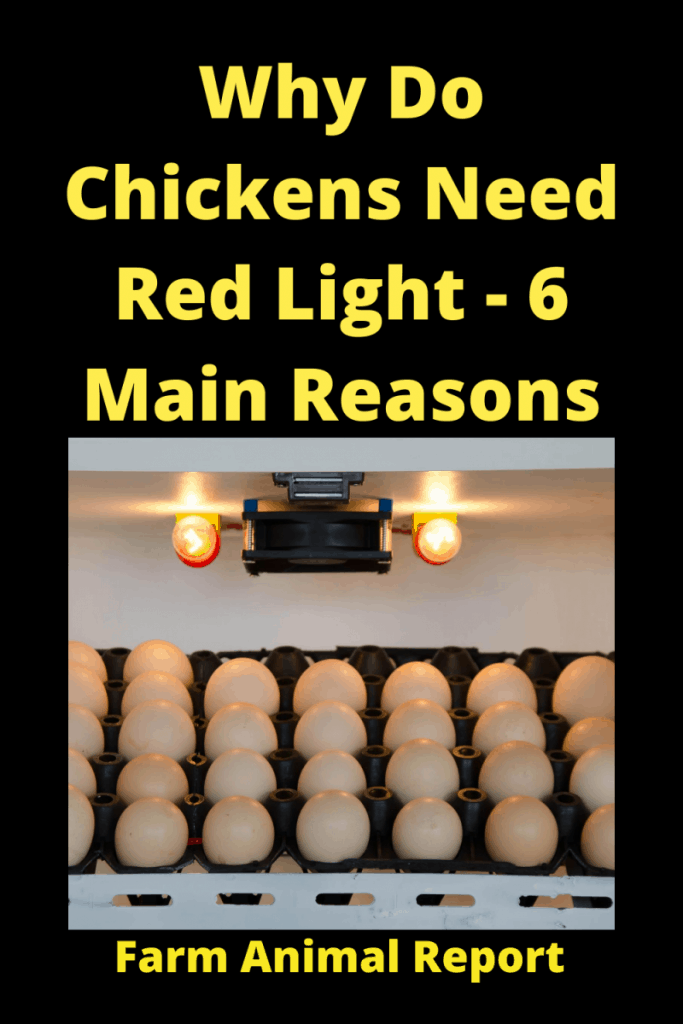 Why Do Chickens Need Red Light - 6 Main Reasons 6