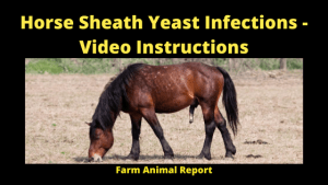 Horse Sheath Yeast Infections - Video Instructions
