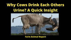 Why Cows Drink Each Others Urine_ A Quick Insight