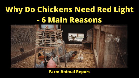 Why Do Chickens Need Red Light - 6 Main Reasons
