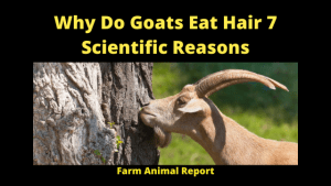 Why Do Goats Eat Hair 7 Scientific Reasons