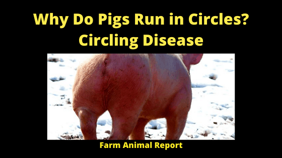 Why Do Pigs Run in Circles_ Circling Disease