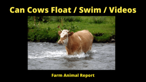 Can Cows Float _ Swim_ Videos