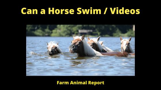Can a Horse Swim _ Videos