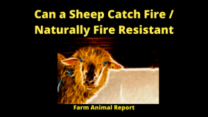 Can a Sheep Catch Fire _ Naturally Fire Resistant